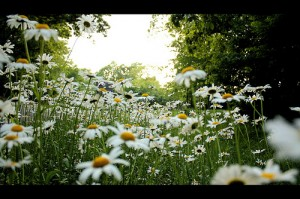 Field of daisies by Phil Roeder